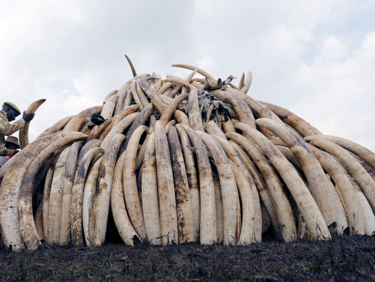 A Kenya Wildlife Service ranger stacks elephant tusks, part of an estimated 105 tonnes of confiscated ivory to be set ablaze, on a pyre at Nairobi National Park near Nairobi, Kenya April 20, 2016