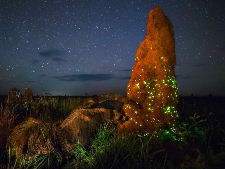 The night raider by Marcio Cabral, winner of the Animals in Their Environment category