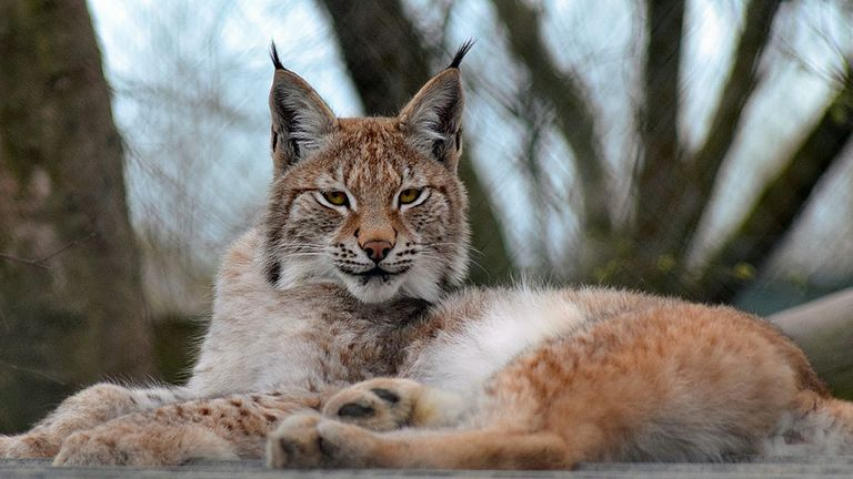 Undated handout photo issued by Borth Wild Animal Kingdom of Lillith, a young Eurasian lynx which has escaped from the wildlife park in Wales. Pic: Borth Wild Animal Kingdom/PA Wire