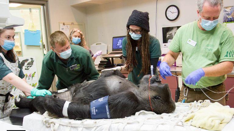 John Loughlin/Woodland Park Zoo http://blog.zoo.org/2017/10/uw-husky-football-physician-helps-zoo.html