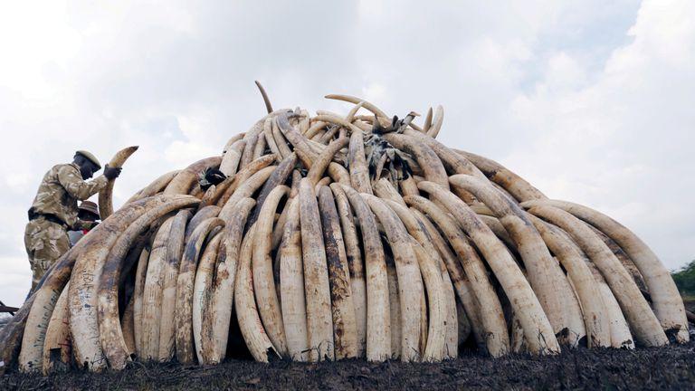 A Kenya Wildlife Service ranger stacks elephant tusks, part of an estimated 105 tonnes of confiscated ivory to be set ablaze, on a pyre at Nairobi National Park near Nairobi, Kenya April 20, 2016