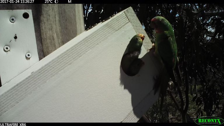 A swift parrot feeds a chick in a nest box. Pic: ANU