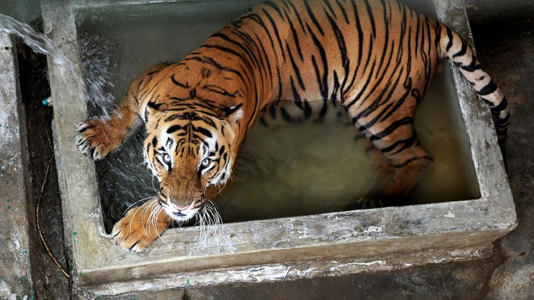 An Indian tiger similar to the one armed rangers are hunting for after four people were killed