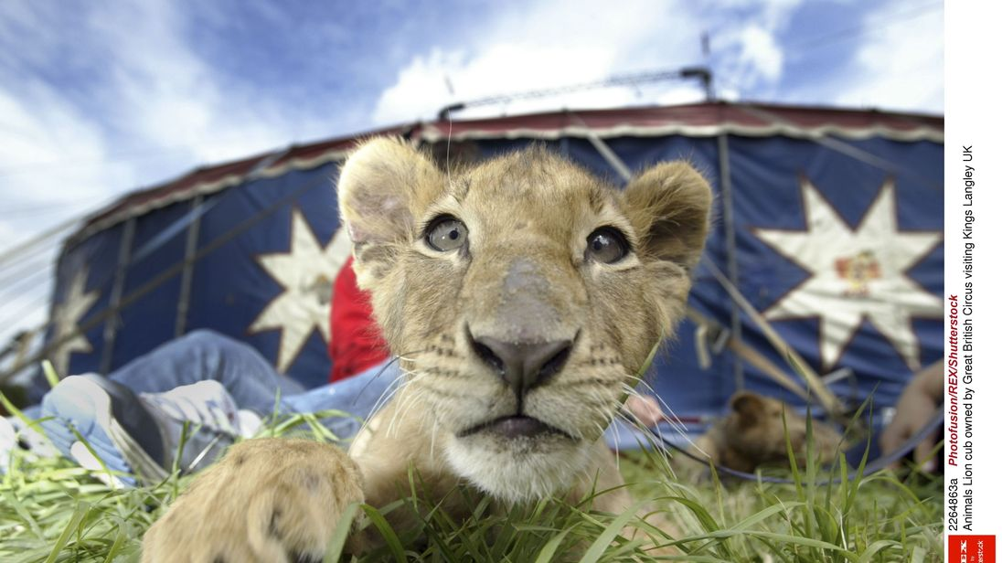 A lion cub owned by Great British Circus at an event in Kings Langley