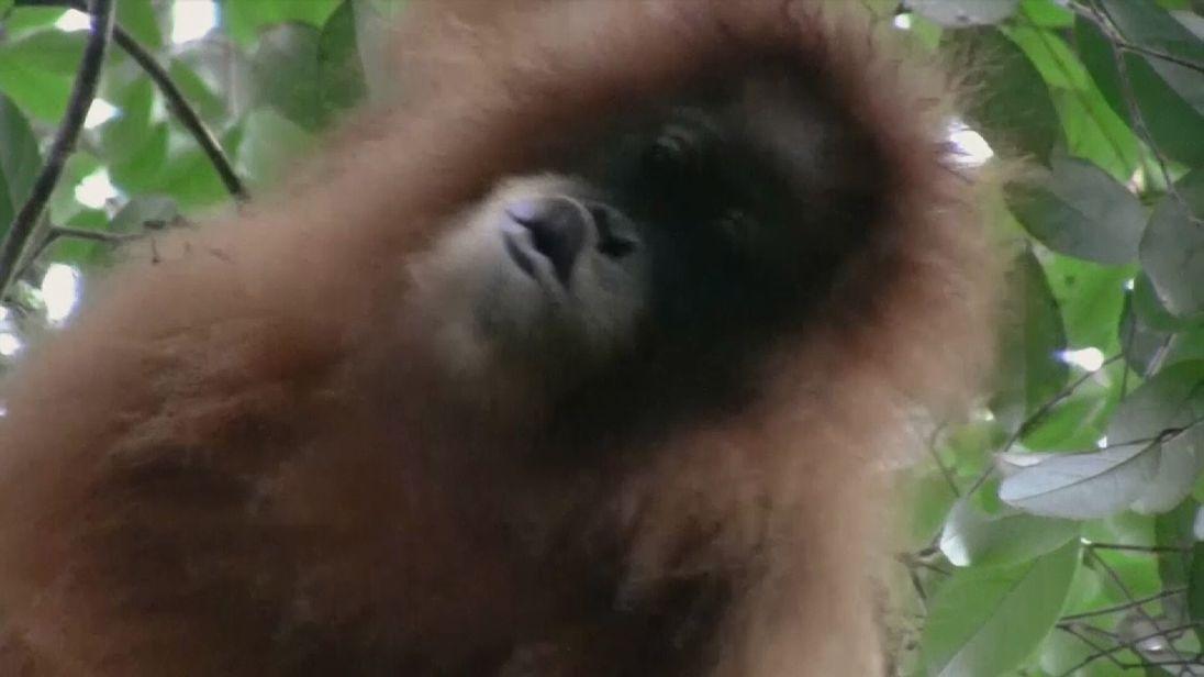 The new species is called Pongo tapnuliensis