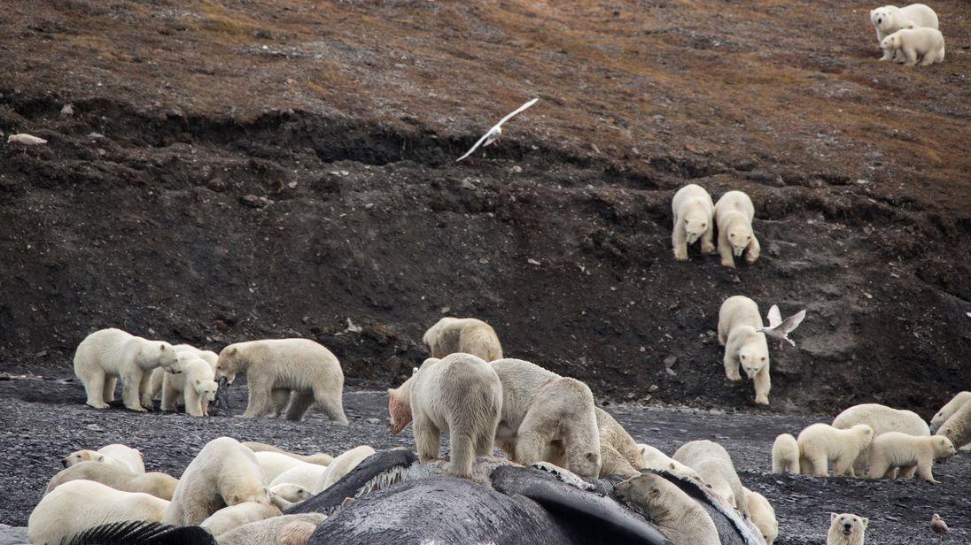 Polar bears eat whale carcass