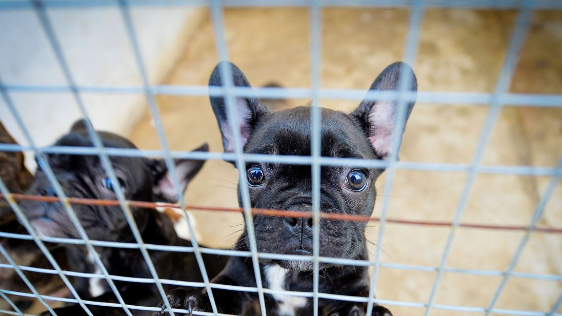 French Bulldogs are a trendy breed for puppy smugglers