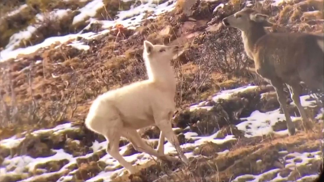 A rare white elk has been filmed in the wild for the first time in northwest China  The footage, which was taken in Nangqian County of Yushu Tibetan Autonomous Prefecture in northwest China's Qinghai Province, shows a rarely-seen white elk (or Cervus canadensis) in a herd of red peers.