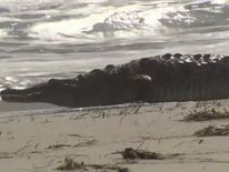 The six-foot crocodile was seen on a beach in Hollywood, Florida. Pic: WSVN-TV