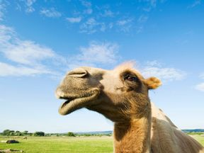 Popping out for a pint of camel's milk could be the next big thing