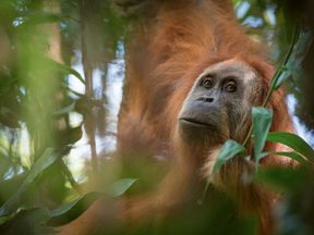 There are only 800 of the new species of orangutan living in a tiny area of Sumatra