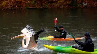 Zoo keepers catch a pelican to move it to its winter enclosure at Liberec Zoo, Czech Republic