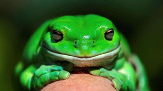 "An Australian Green Tree frog named ""Godzilla"" sits on the hand of Kathy Potter of the Frog and Toad Study Group during the launch of the frog count phone app ""FrogID"""