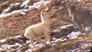 A rare white elk has been filmed in the wild for the first time in northwest China