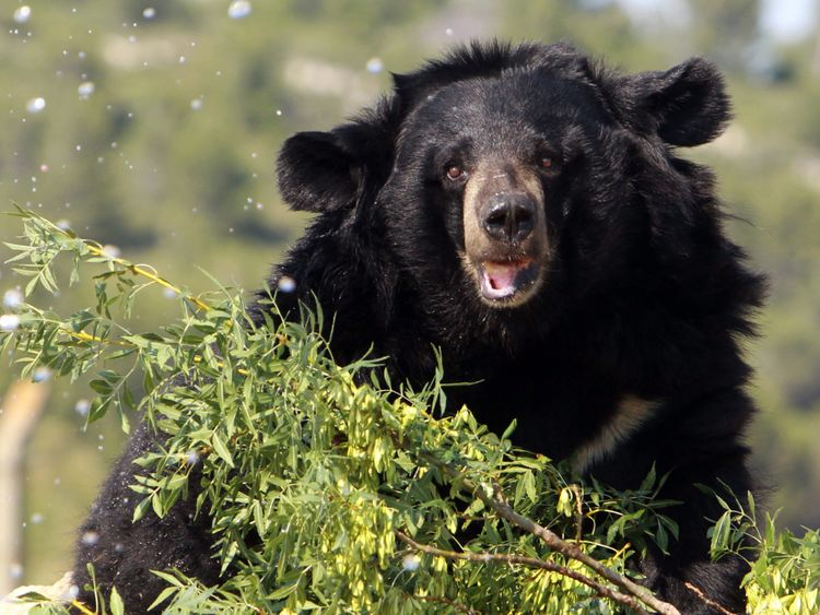 Tests on one specimen belonged to an Asian black bear like this. File pic