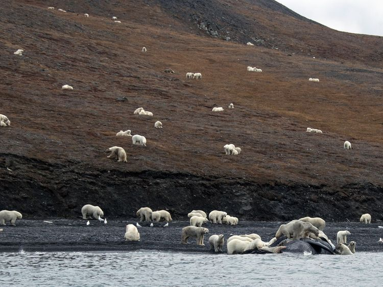 Dozens Of Polar Bears Feast On Whale Carcass In Unusual Group Behavior