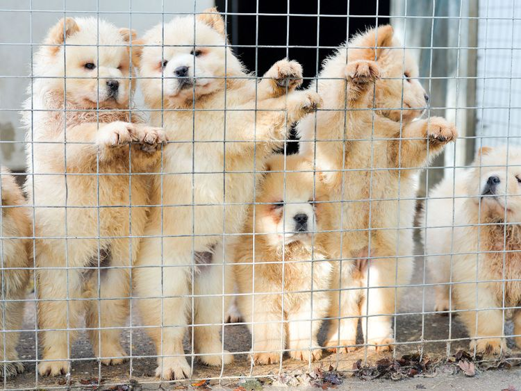 Chow Chow puppies illegally smuggled into the UK