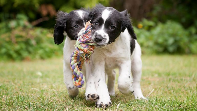 Two black and white puppies working as a team to carry rope - Stock image