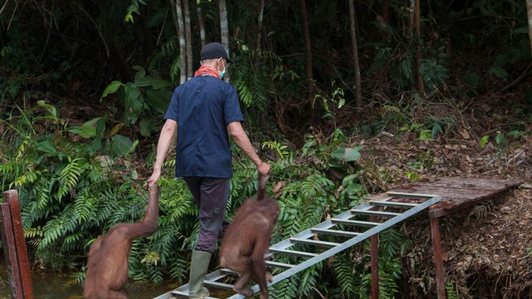 Amy the orangutan being led onto her new island, called Pulau Besa with another orangutan