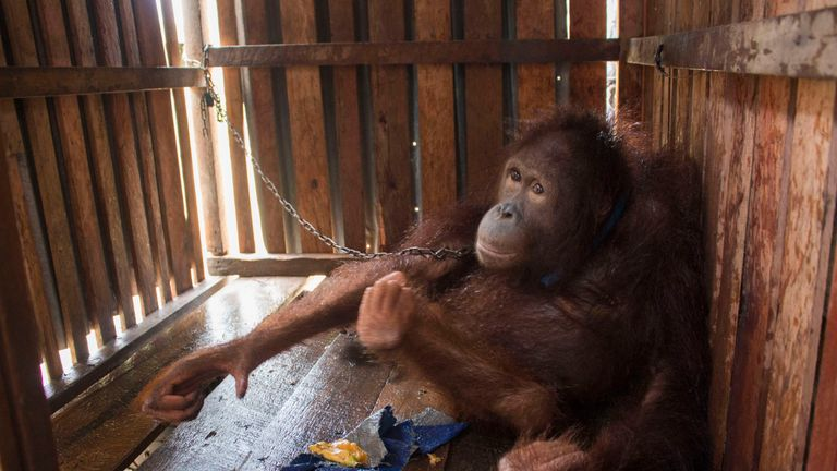 Amy the Orangutan when she was rescued earlier this year from a remote West Borneo village