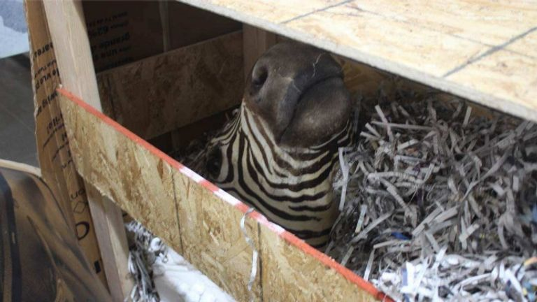 Zebra were among the frozen and butchered animals found on the ranch. Picture: Chihuahua State Attorney General's Office