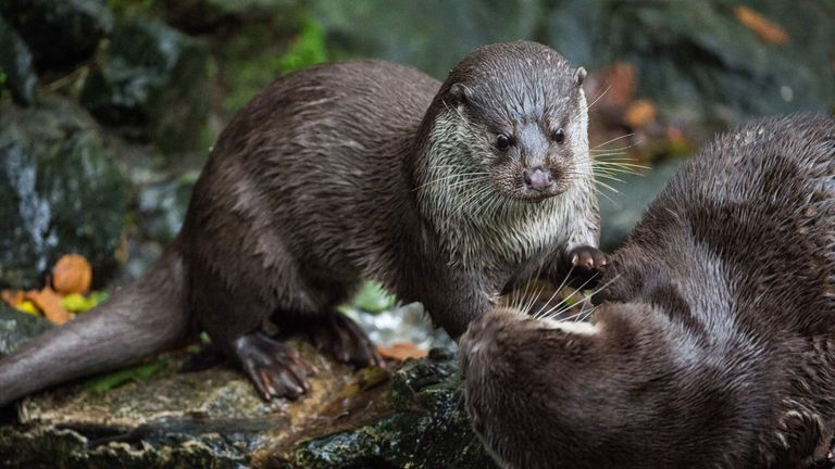 Today's otters are much smaller compared to their ancient ancestors