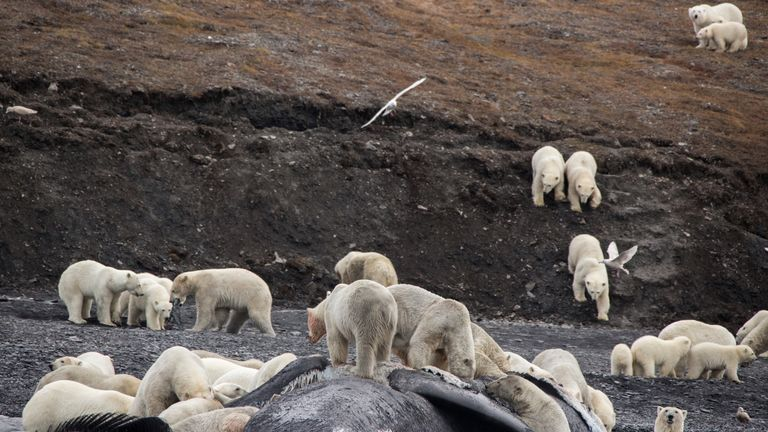 Polar bears eat whale carcass