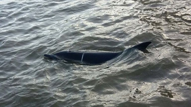 The two metre long animal was spotted in the River Thames