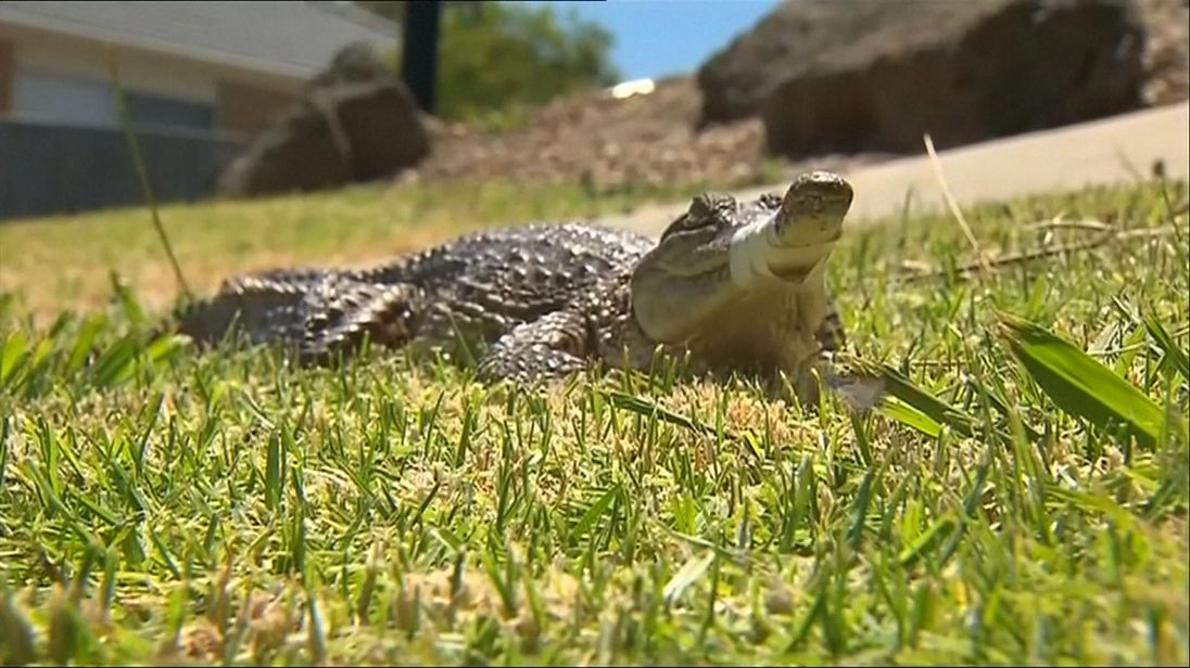 Melbourne couple on a walk find crocodile in a front yard