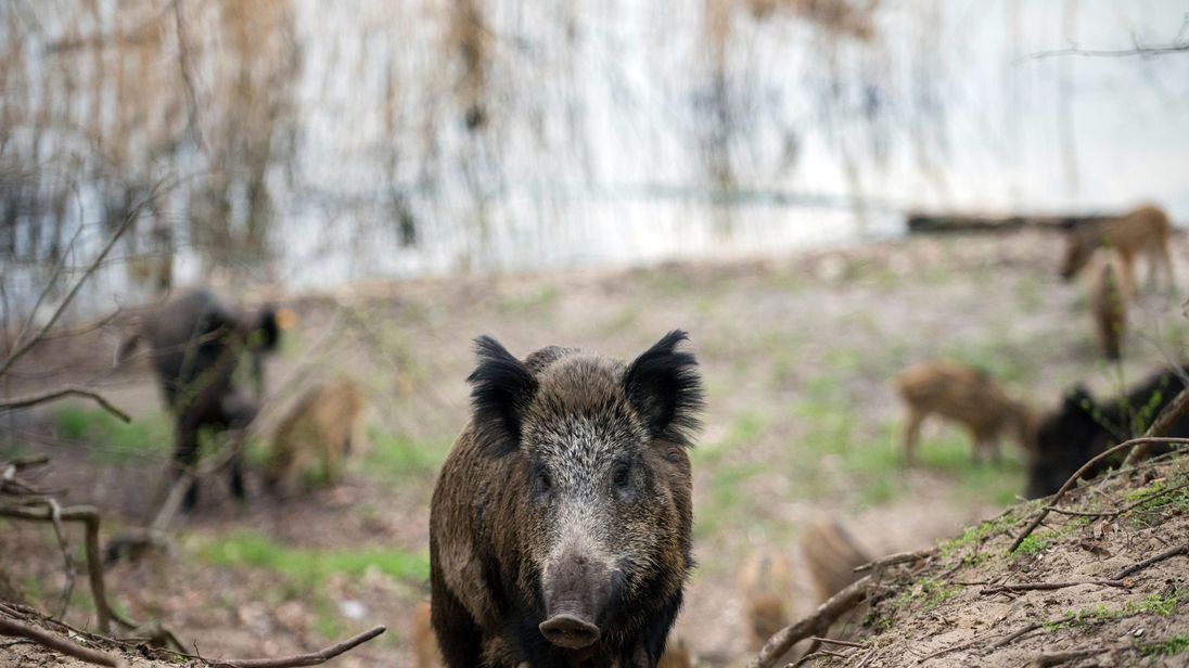 The unnamed hunter was trying to shoot a boar in Germany when it attacked him