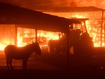Live stock animals try to keep away from the flames