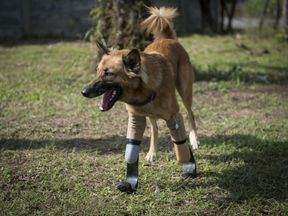 Cola the dog walking around whilst wearing his curved 'blade runner' prosthetics at Soi Dog Foundation