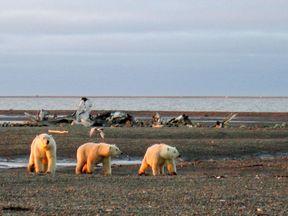 Three polar bears are seen on the Beaufort Sea coast