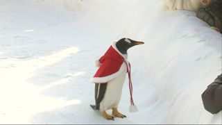 This penguin does not look exactly overjoyed to be wearing a cloak