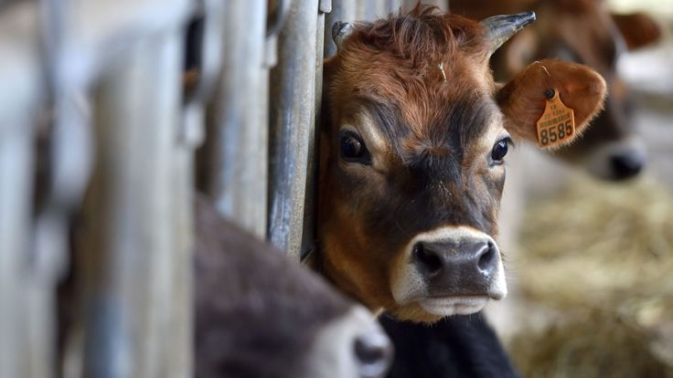 Image of: Environment Calf Is Pictured In Cow Pen Of An Organic Dairy Farm In Evran Rebloggy The Rise Of The Vegans Are We Falling Out Of Love With Meat Uk