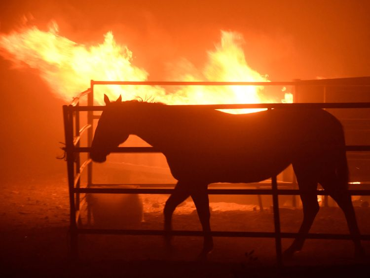 A horse which was left behind after an early-morning Creek Fire that broke out in the Kagel Canyon area in the San Fernando Valley