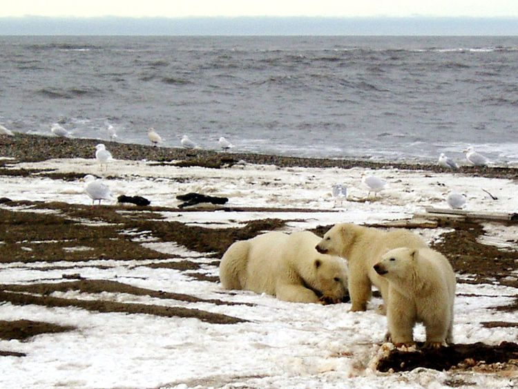 A polar bear sow and two cubs are seen on the Beaufort Sea coast
