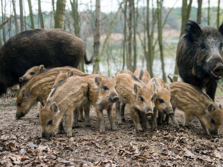 About 500,000 wild boar are killed in Germany each year, but experts say that is not enough as they are so populous