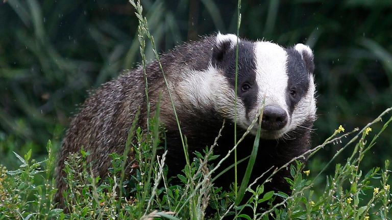 The government's badger culling programme has been criticised