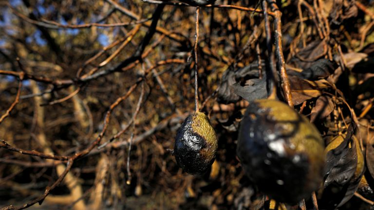 Avocados at an avocado farm were damaged by wildfire in California