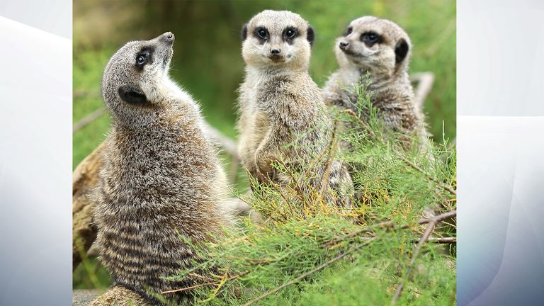 Four meerkats are currently missing after the fire Pic:ZSL London Zoo