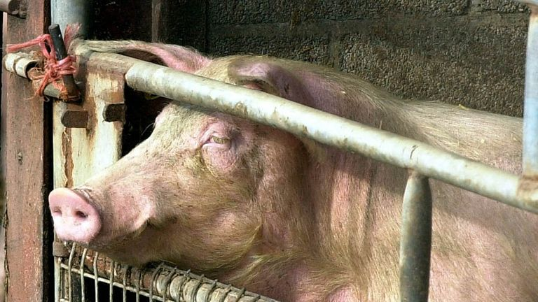 A pig on a farm in Hook, East Yorkshire, Officials from the Ministry of Agriculture, Fisheries and Food were in the area today investigating a possible link with an outbreak of foot and mouth disease at an abbatoir in West Horndon, Essex.