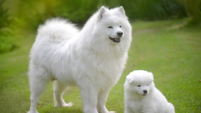 Samoyed dog with her puppy