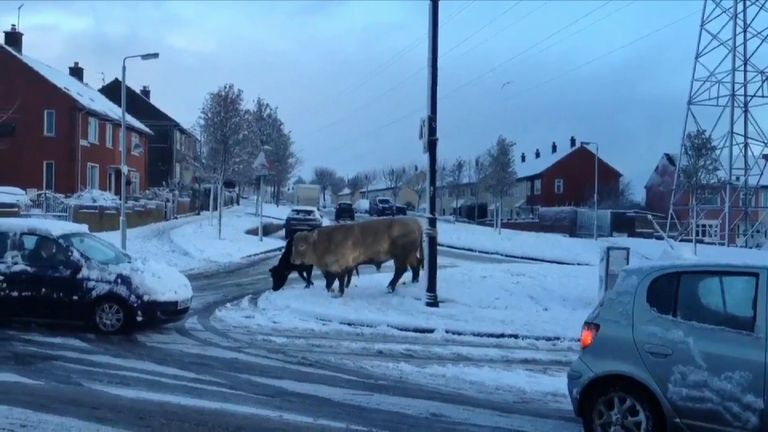 Cattle in Belfast. Pic: @SeanaTalbot