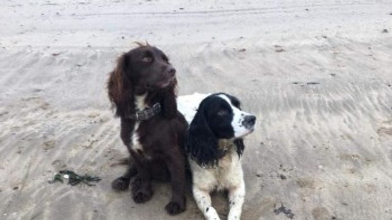 Two of the other spaniels stolen - Amber and Ruby