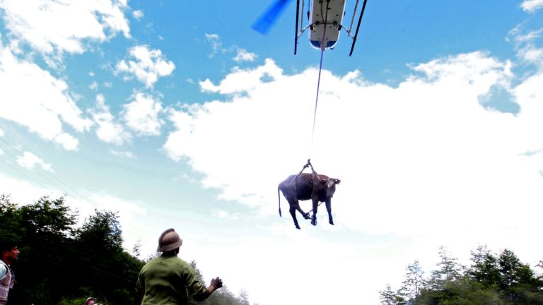 A cow is transported by a helicopter after a mudslide in Villa Santa Lucia, Chile