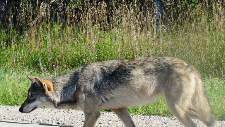 The wolves of the Great Lakes fall under the US Endangered Species Act. Pic: Seney Natural History Association