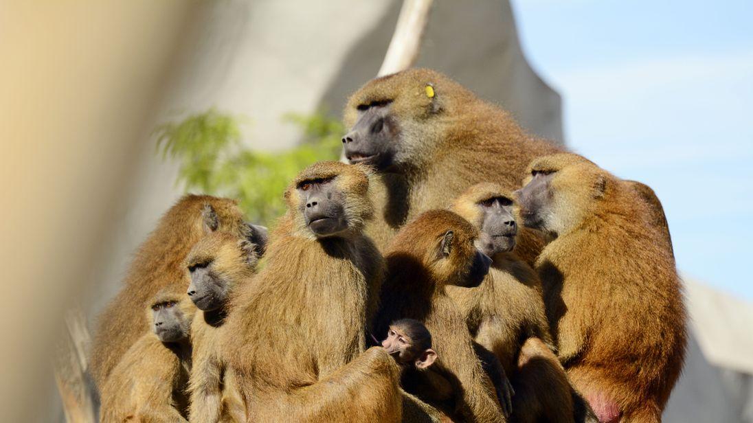paris baboons