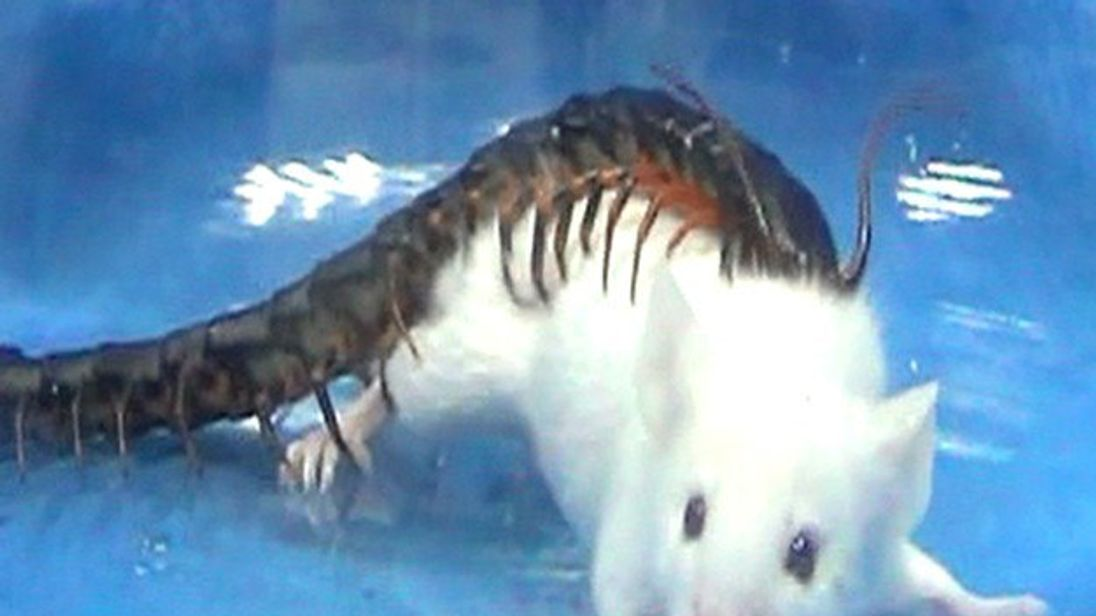 A golden head centipede attacks a Kunming mouse. Credit: PNAS