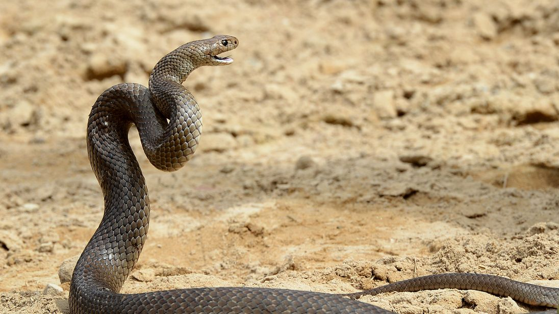 The eastern brown snake is the deadliest in Australia